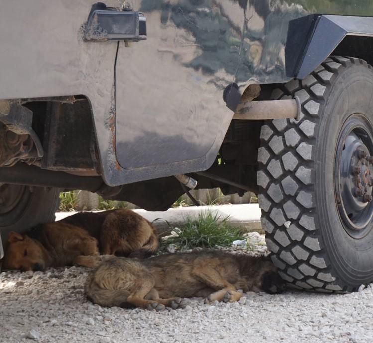 Kosovo stray dogs